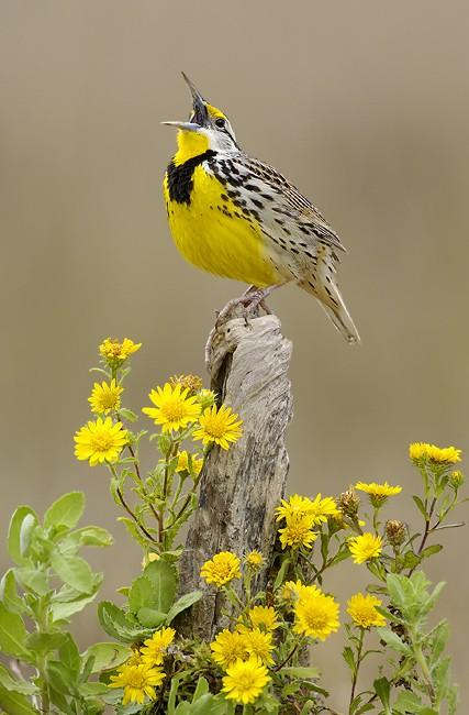 eastern-meadowlark-bird-yellow